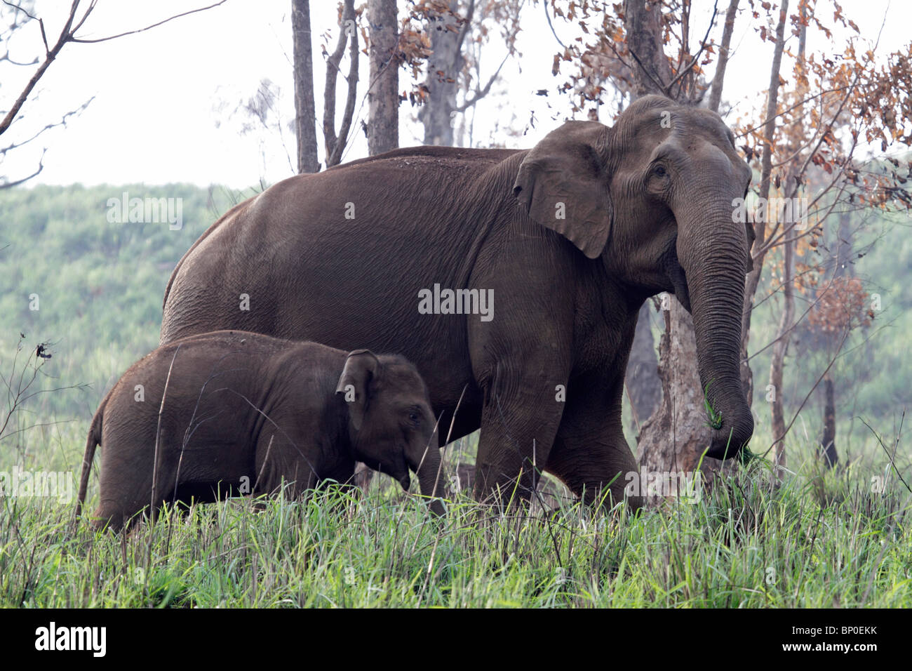 India, Kerala, Periyar National Park. Wild Indian (Asian) elephant mother and calf walking through a forest clearing. - Stock Image