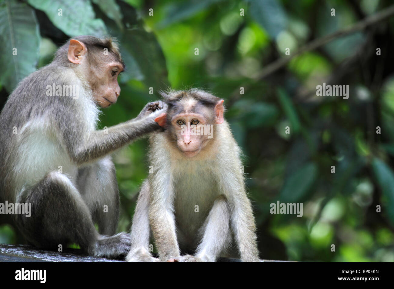 India, Kerala, Periyar National Park. Bonnet macaques grooming. - Stock Image