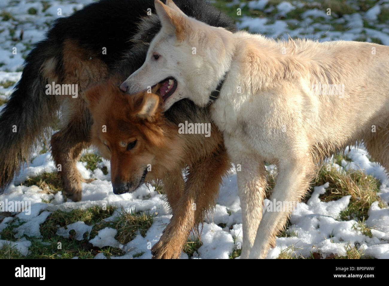 two german shepherds,playing in the snow 2008 - Stock Image