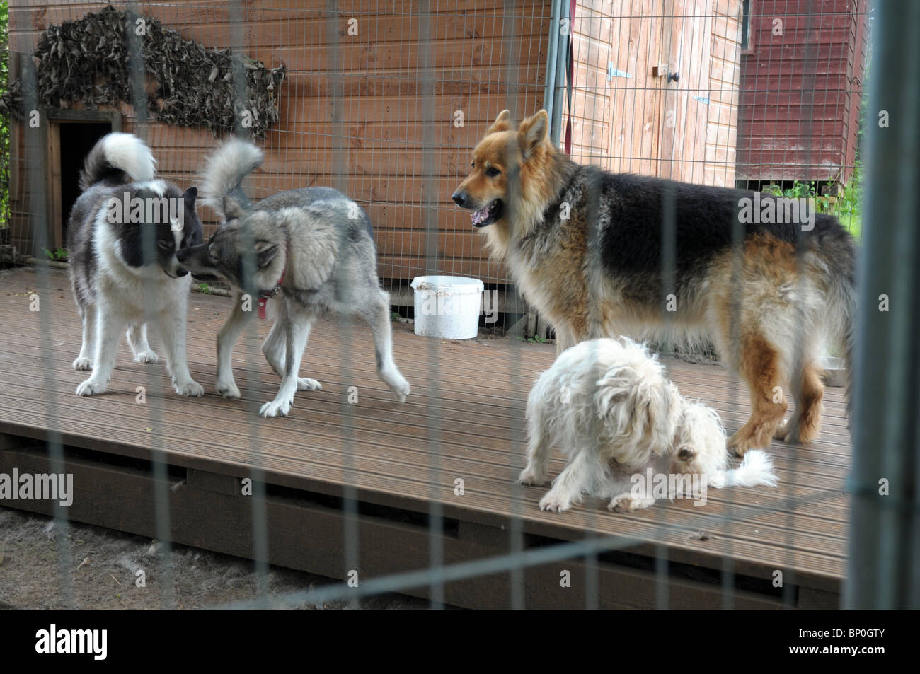 our four family pet dogs outside in their dog run - Stock Image