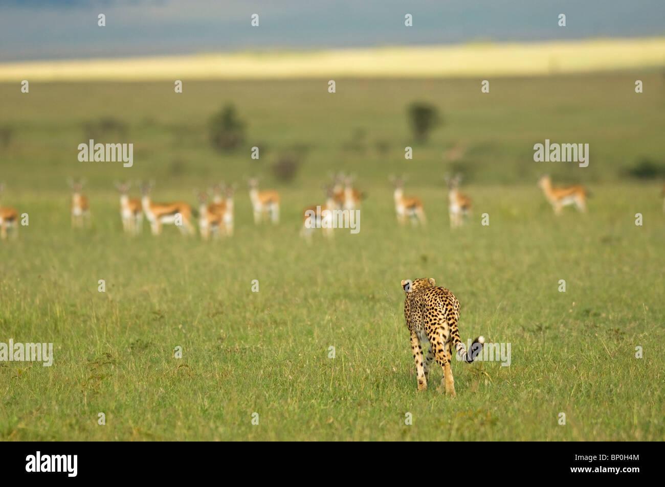 Kenya, Masai Mara. A female cheetah stalks a herd of Thomson's gazelle on the savannah. - Stock Image