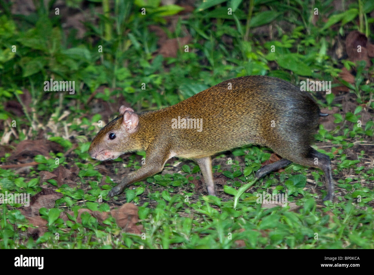Peru. A brown aguti in the tropical forest of the Amazon Basin. - Stock Image