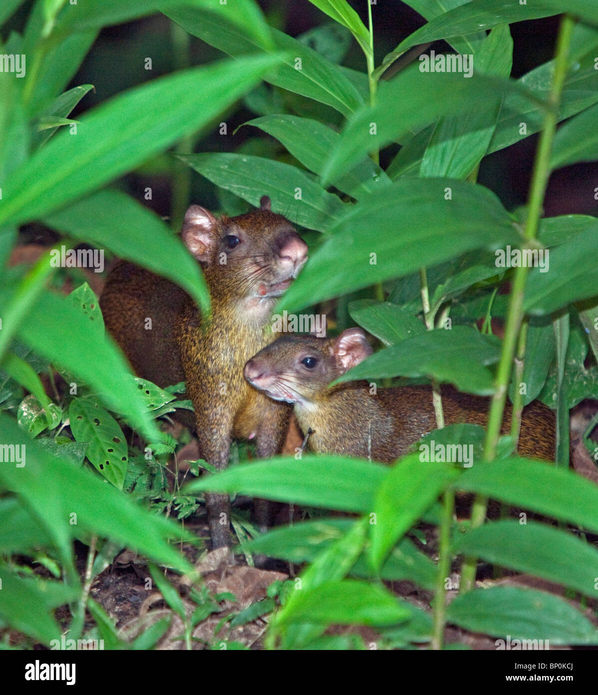 Peru. Brown agutis in the tropical forest of the Amazon Basin. - Stock Image