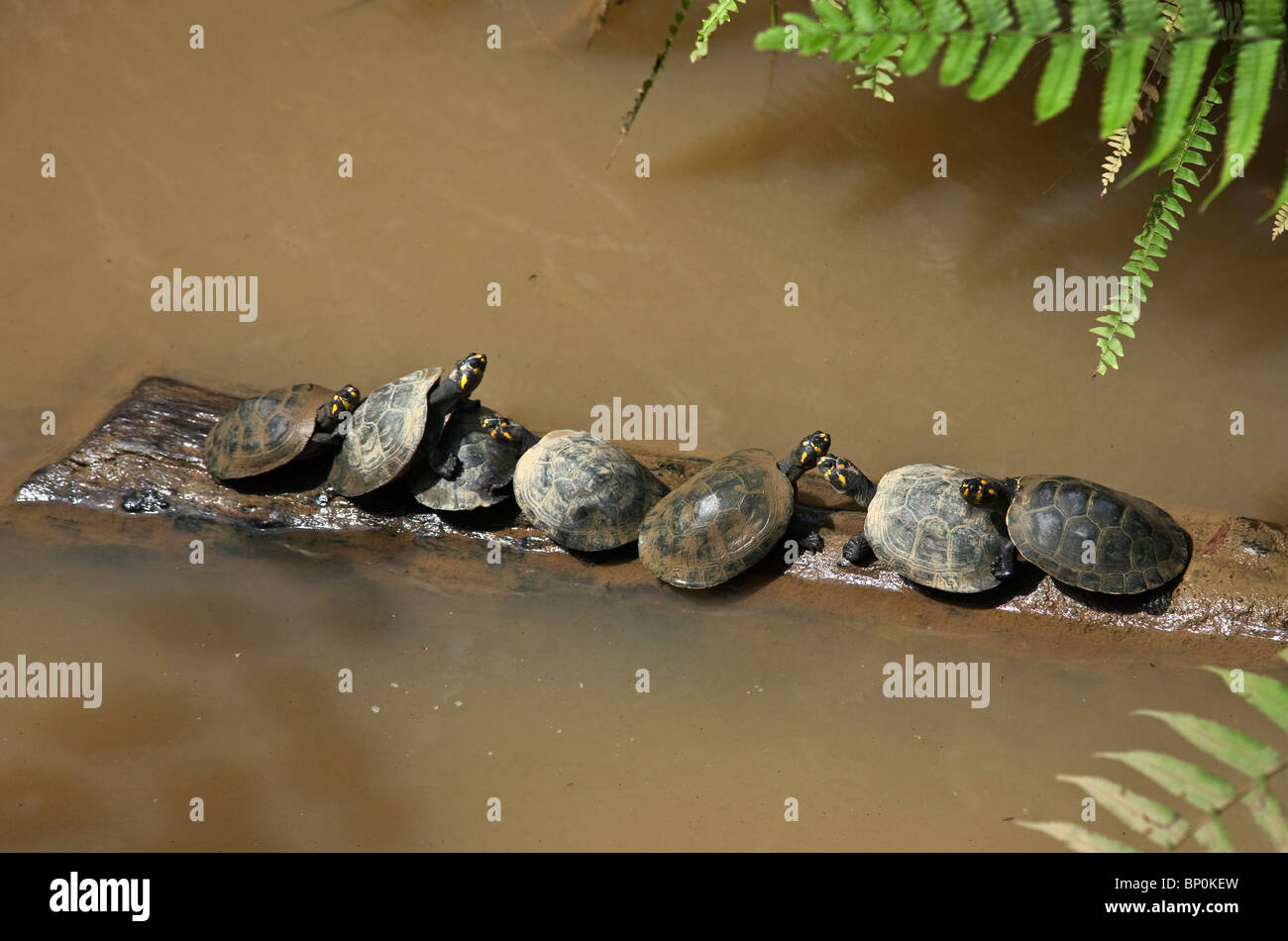 Peru. Freshwater turtles bask on a log in the Madre de Dios River at Puerto Maldonado. - Stock Image
