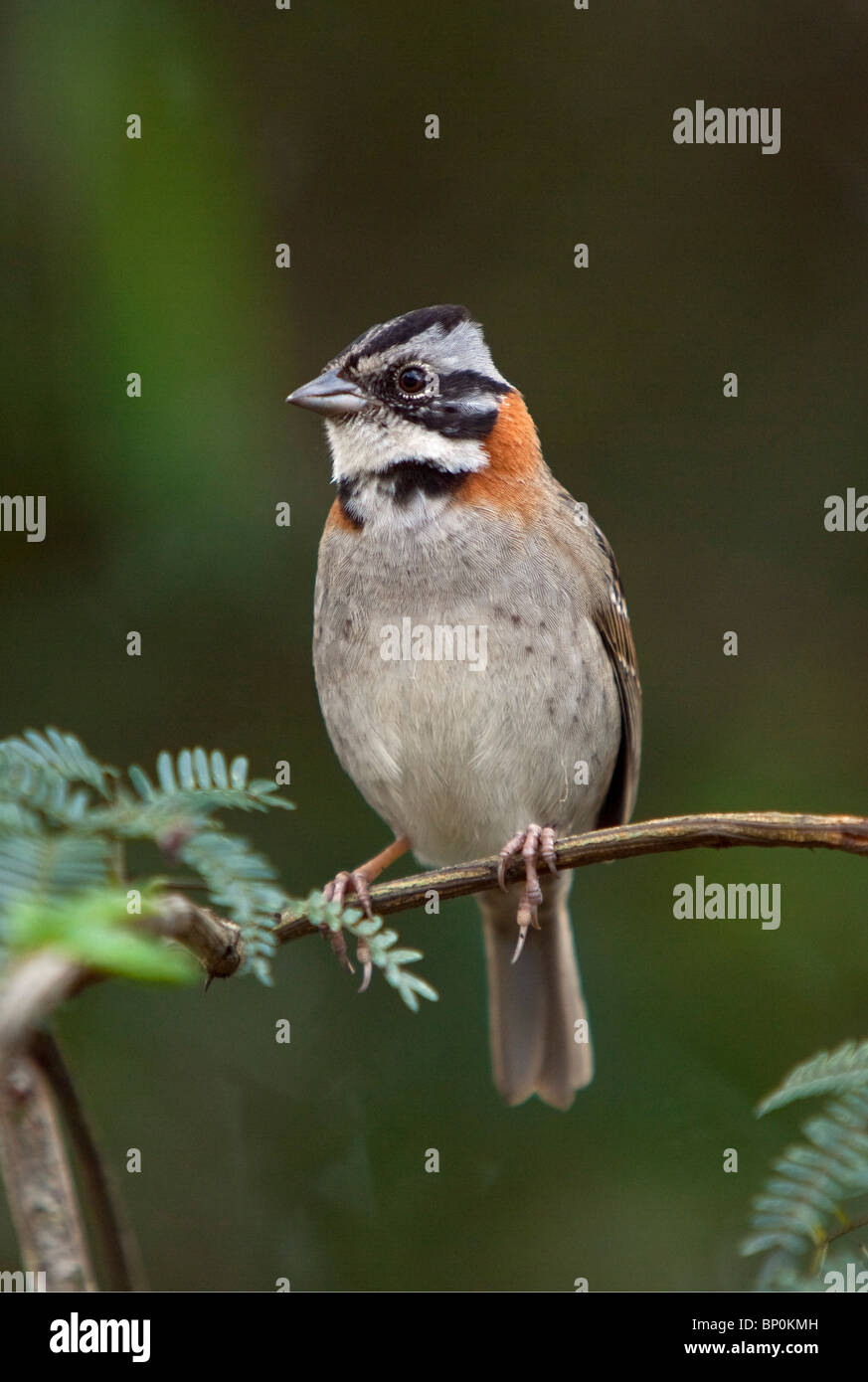 Peru, A rufous-collared sparrow. These birds are commonly seen around the world-famous Inca ruins at Machu Picchu. Stock Photo