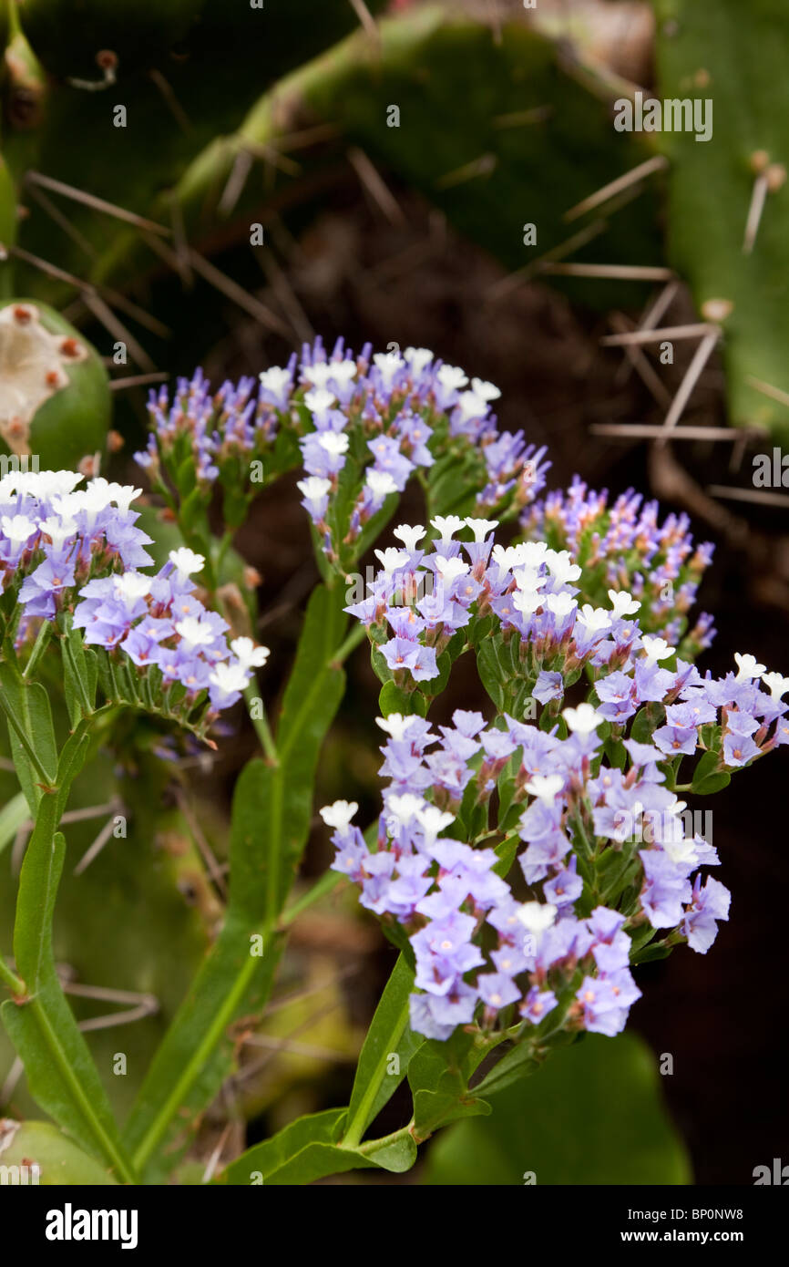Limonium, Puerto De La Cruz, Tenerife, Canary Islands, Spain. - Stock Image