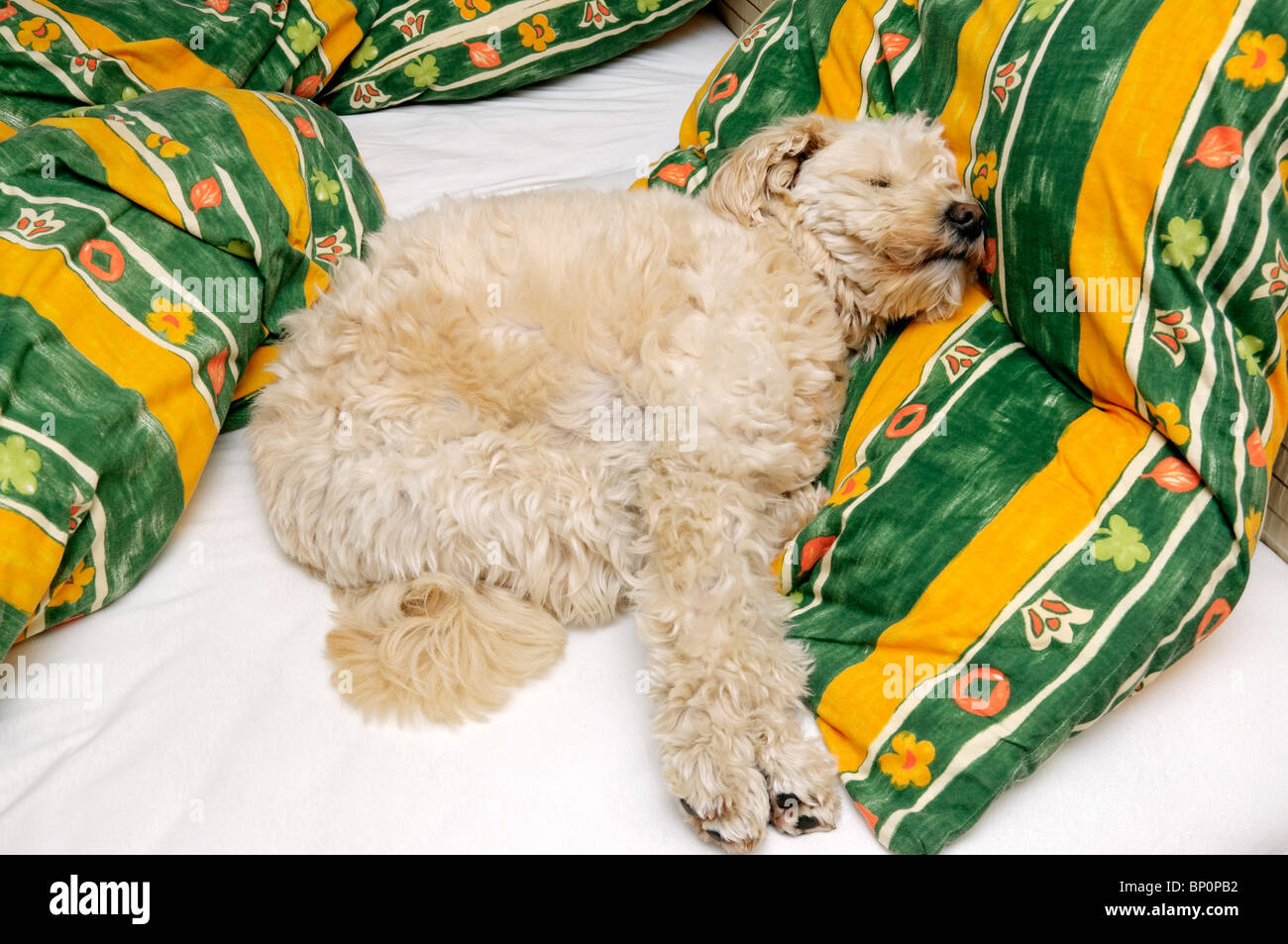 Small off-white pet terrier dog on owner's bed. - Stock Image