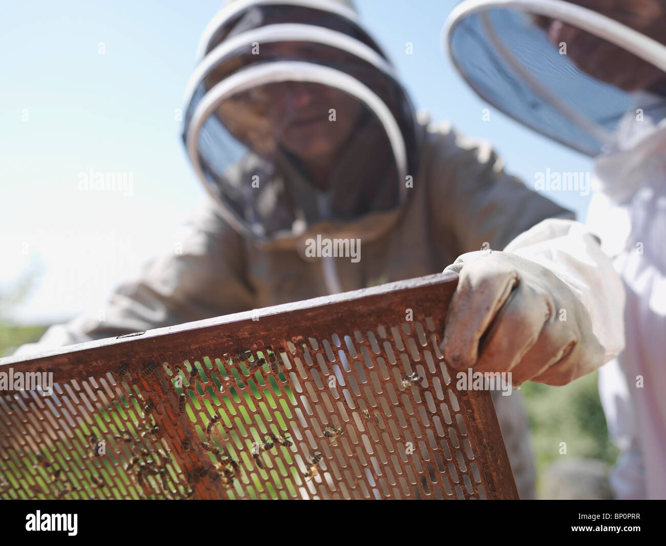 Beekeeper lifts queen bee excluder mesh - Stock Image