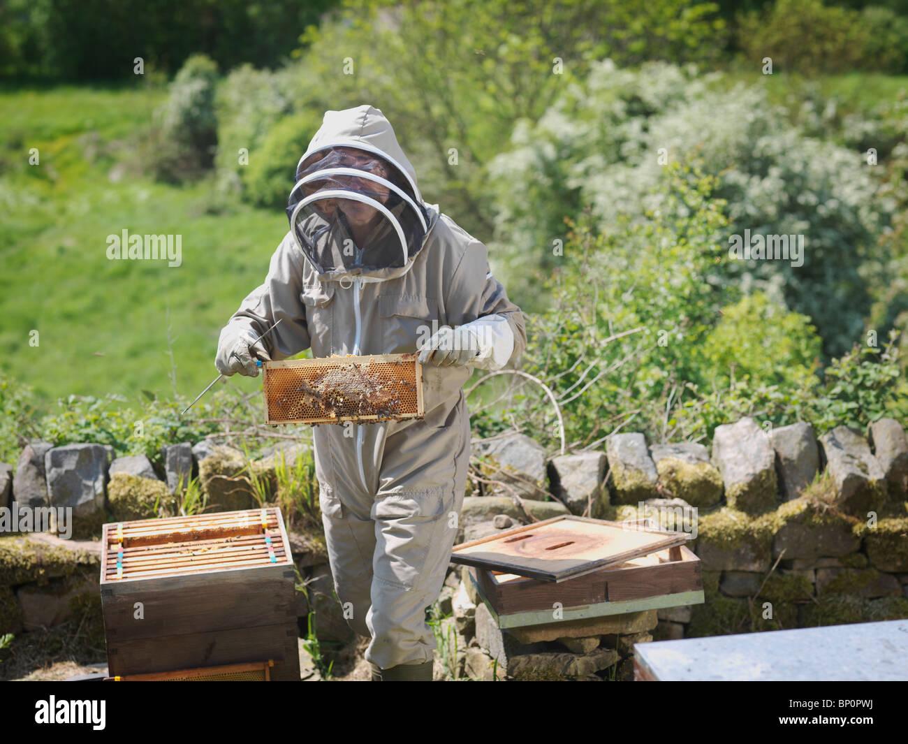 Beekeeper inspect honey combs - Stock Image