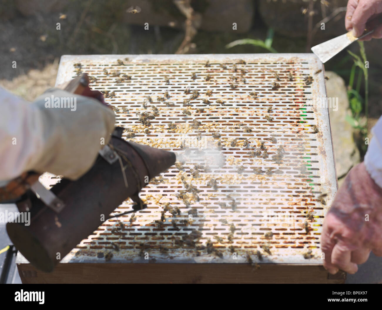 Beekeepers lift queen bee excluder mesh - Stock Image