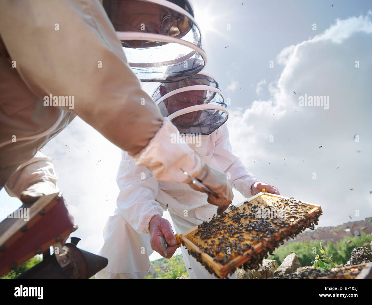 Beekeepers search for queen bee - Stock Image