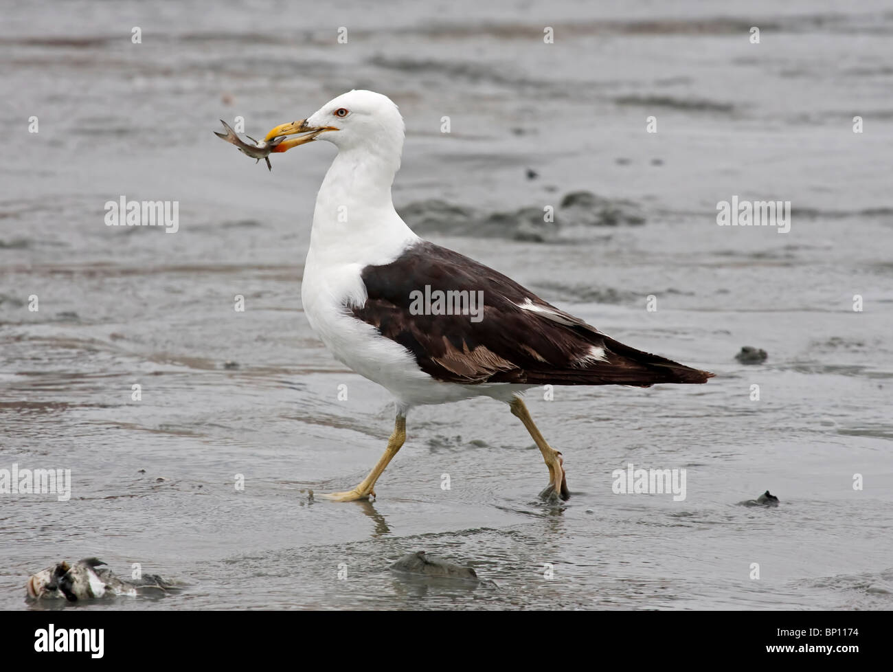 kelp gull (Larus dominicanus) single adult walking with fish in its mouth, on beach, Itajai, Brazil, South America - Stock Image