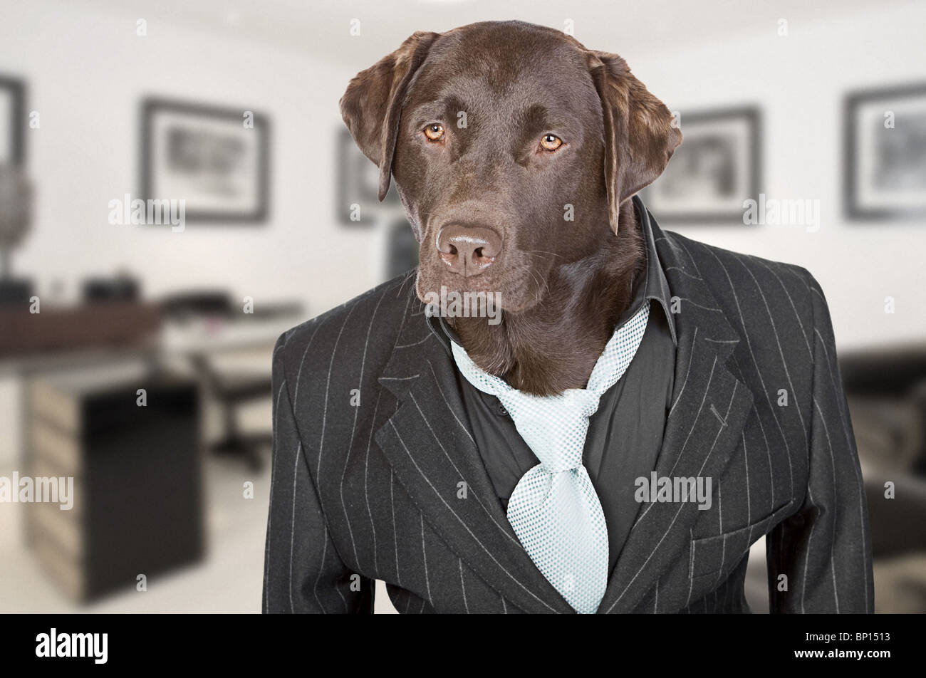 Shot of a Chocolate Labrador in Pin Stripe Suit against Office Backdrop - Stock Image