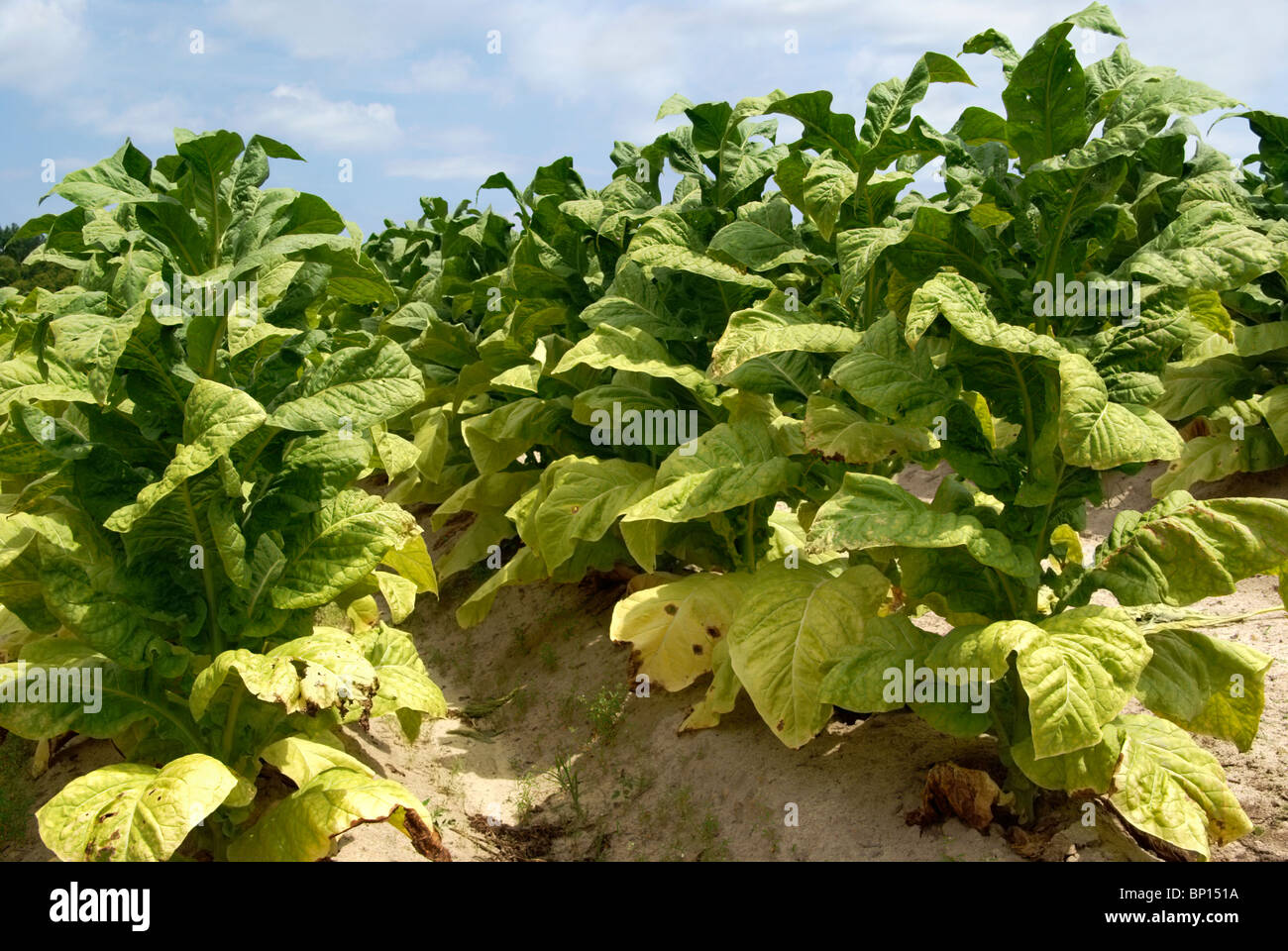 Tobacco plants - Stock Image