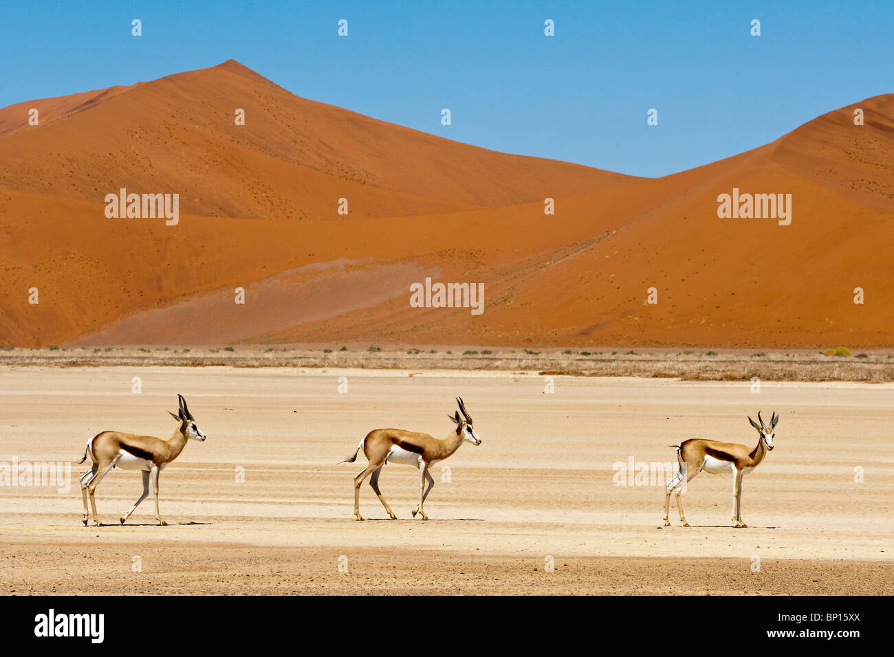Springbocks Antidorcas marsupialis at Sossusvlei in Naukluft Park Namibia - Stock Image