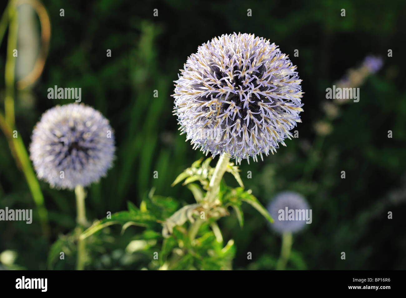 Close-up of a Great Globe Thistle (Echinops sphaerocephalus) a flower with bristly petals in the late afternoon - Stock Image