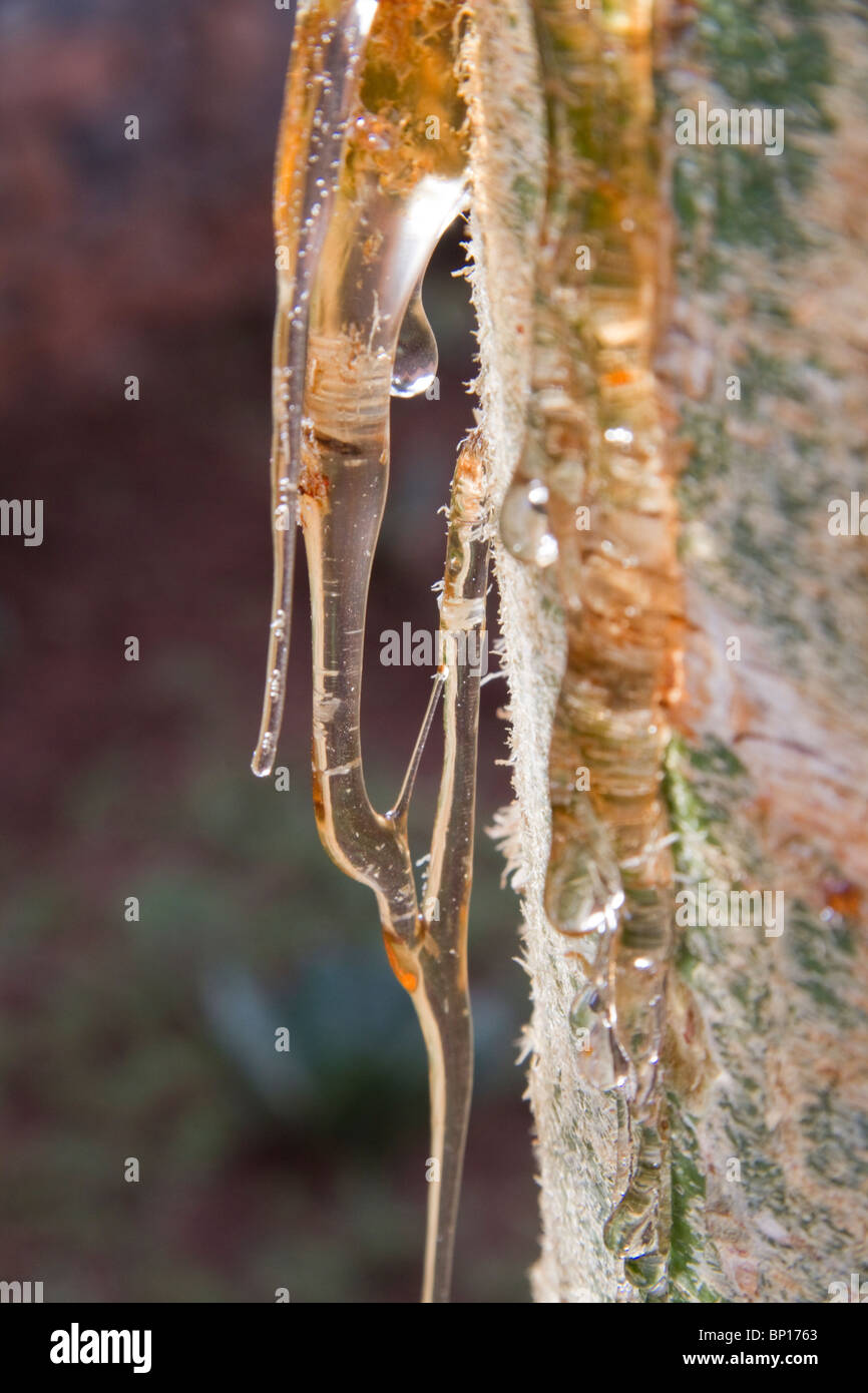 Resin on the trunk of aucalyptus tree. - Stock Image