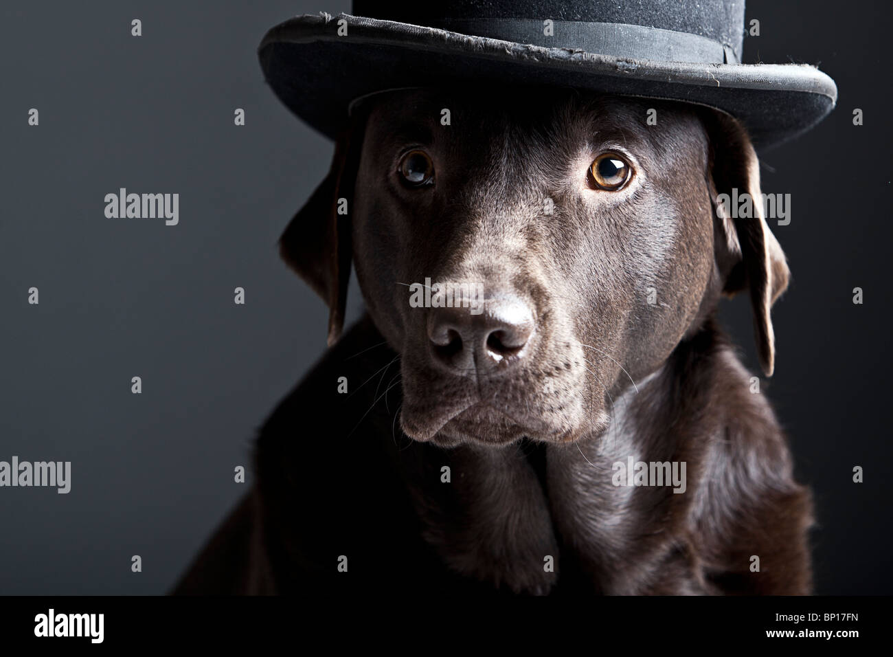 Shot of a Handsome Chocolate Labrador in Bowler Hat - Stock Image