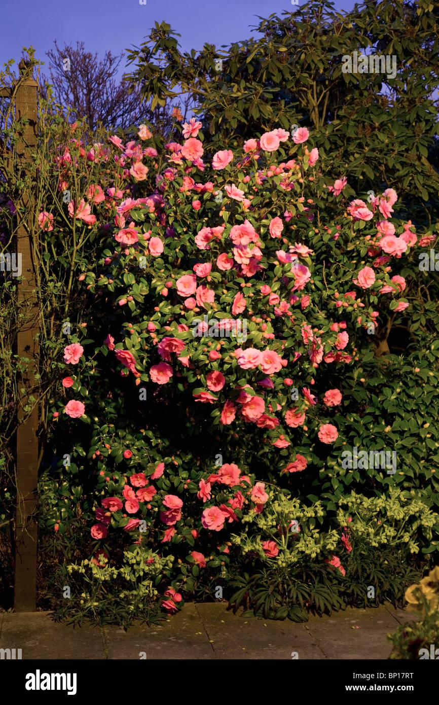 England; A Camellia Bush At Night With An Abundance Of Pink Flowers - Stock Image