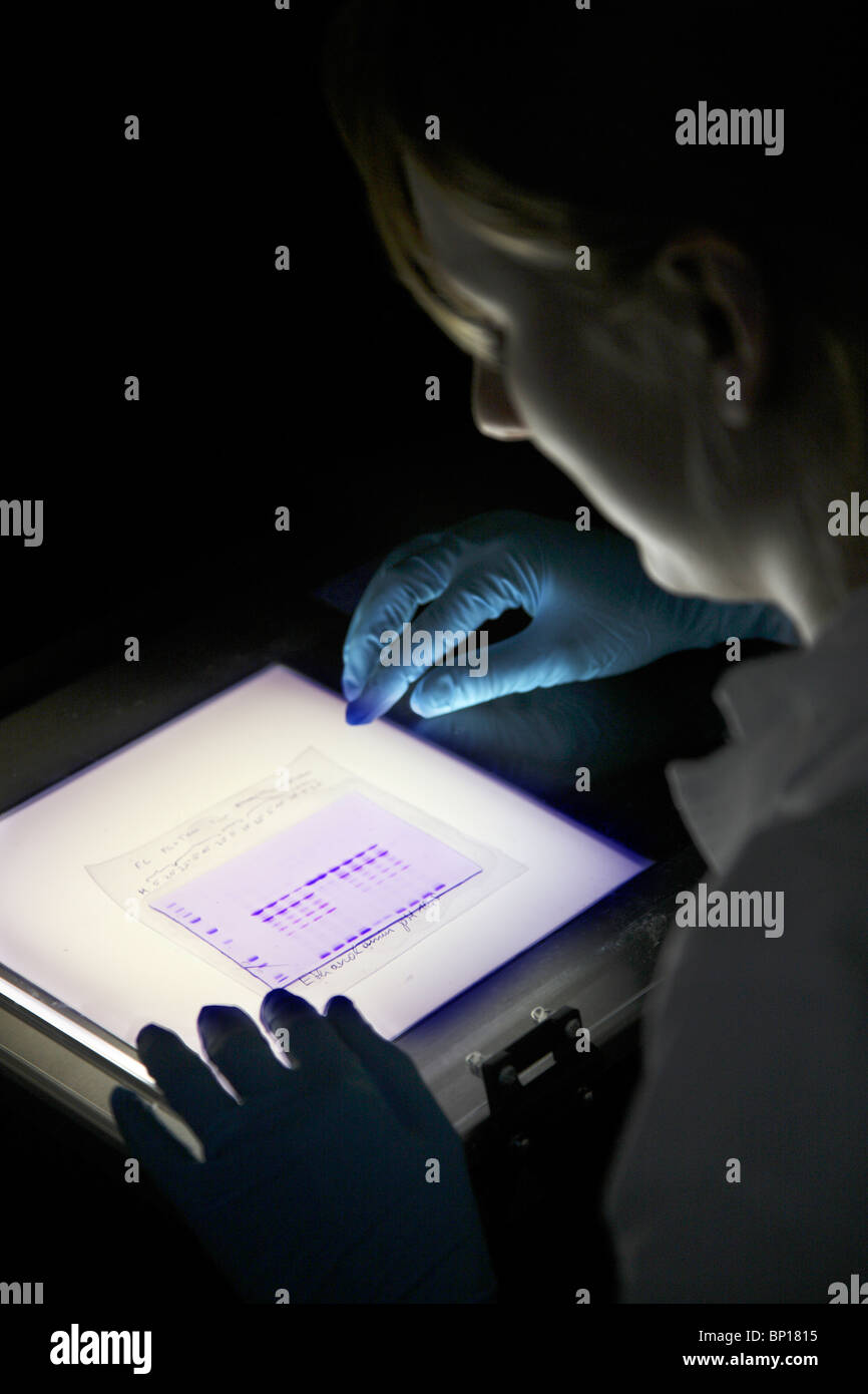 Scientist analyzing  a protein gel. Center for Medical Biotechnology, university Essen, Germany. - Stock Image