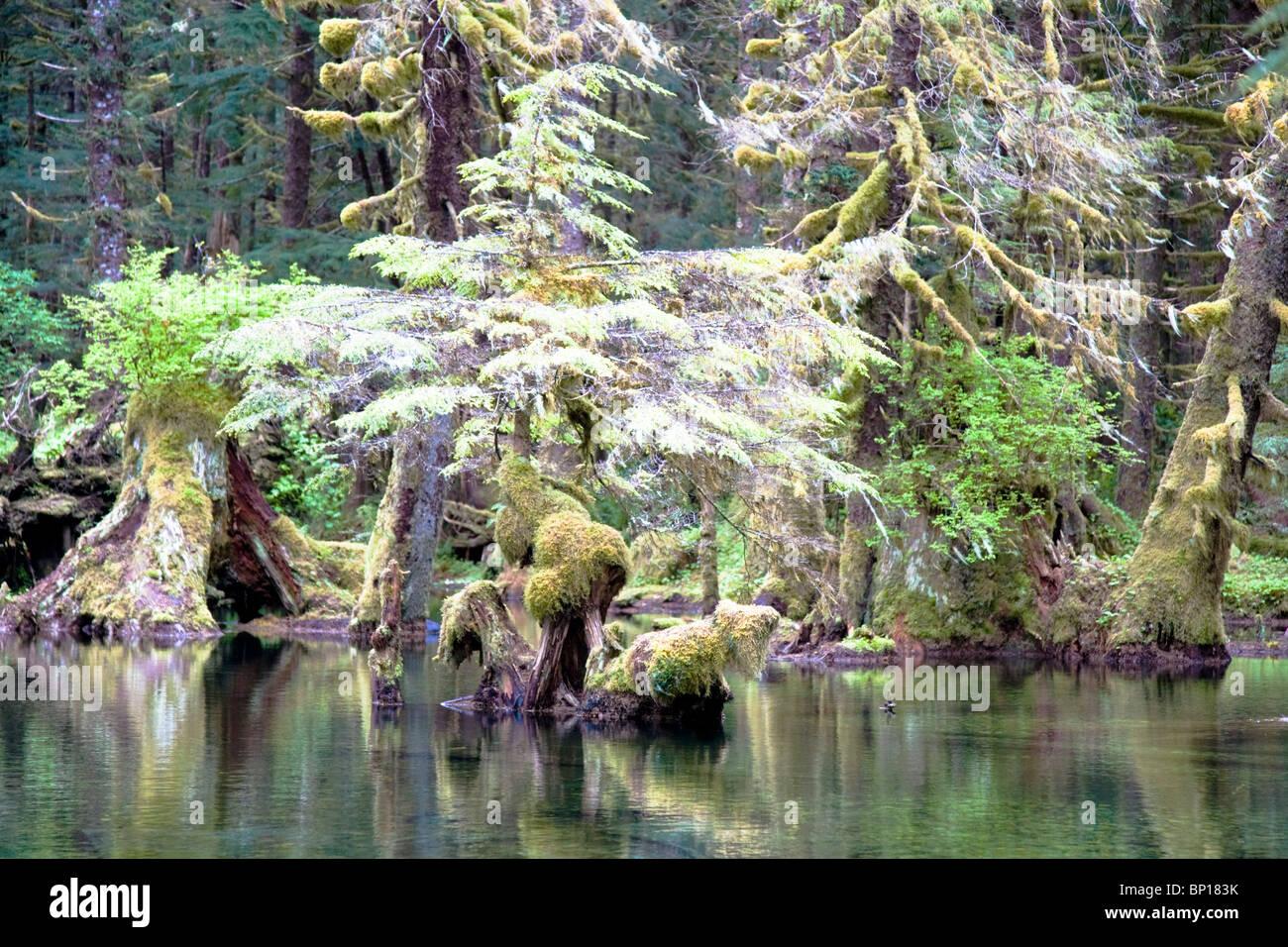 Swamp forest, Kuiu Island, Tongass National Forest, southeast Alaska, USA. - Stock Image