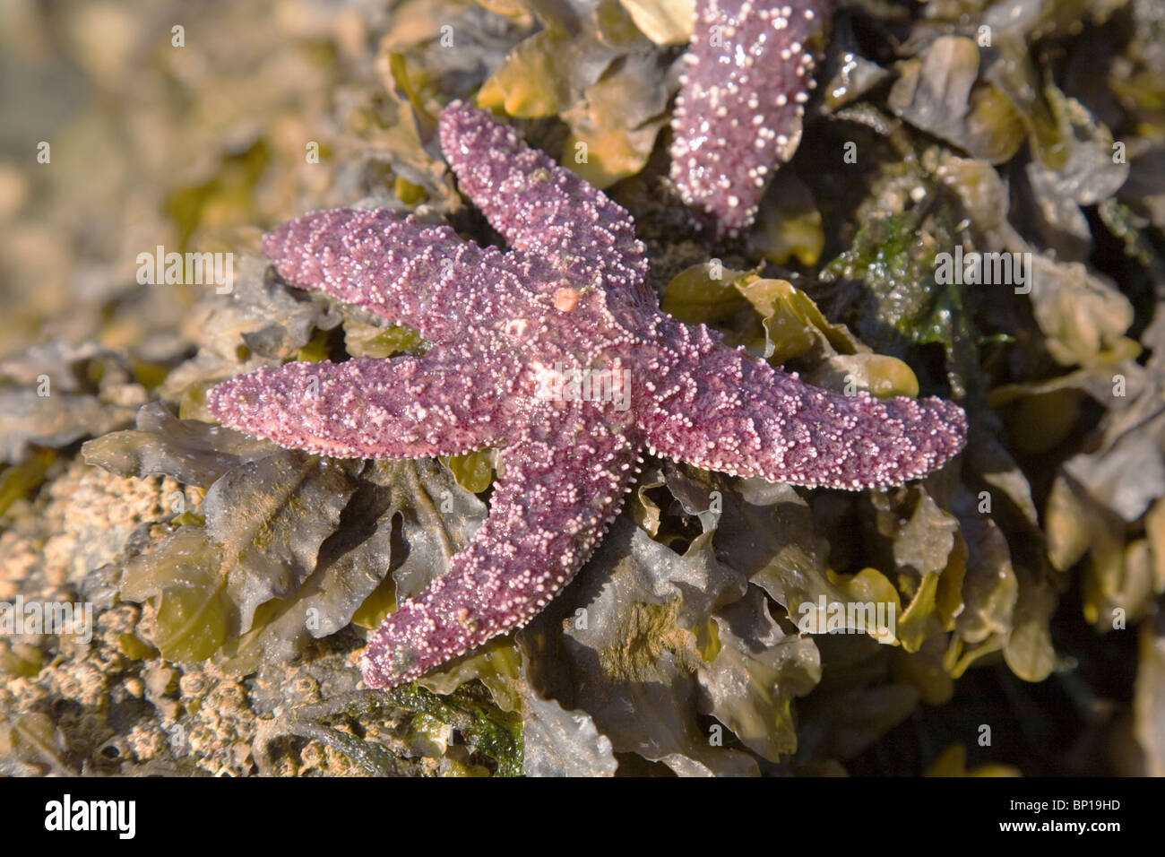 A purple starfish on a bed of seaweed found on a cruise in the Alaskan Inside Passage, Alaska, USA. - Stock Image