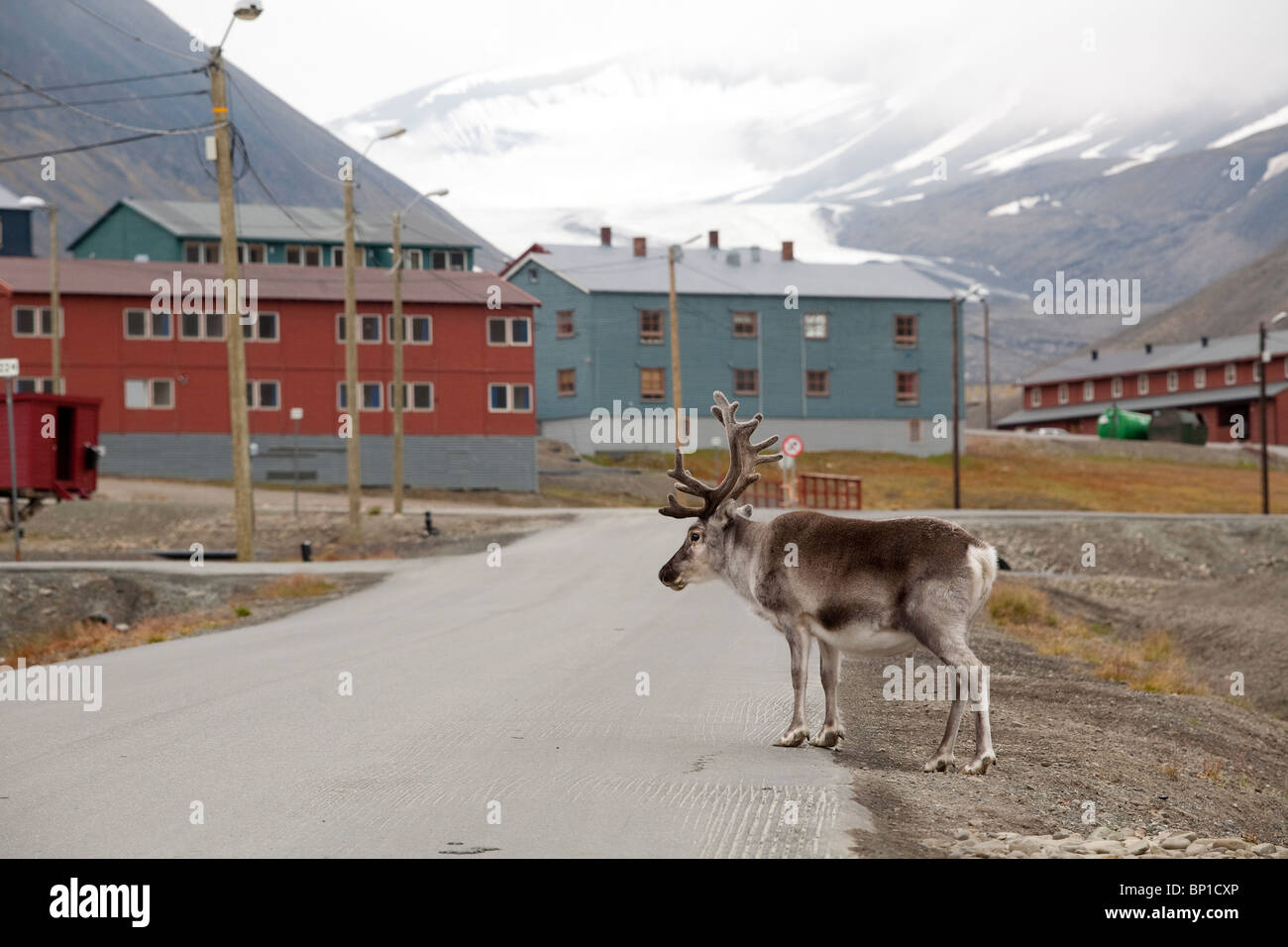 Image shows a reindeer  in Longyearbyen, the largest settlement of Svalbard archipelago, Norway.Photo:Jeff Gilbert Stock Photo