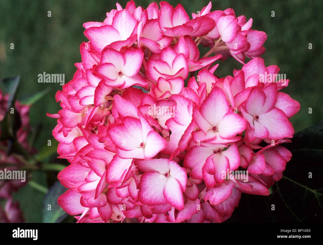 Hydrangea Serrata Mira Red Pink Flower Flowers Garden Plant Plants