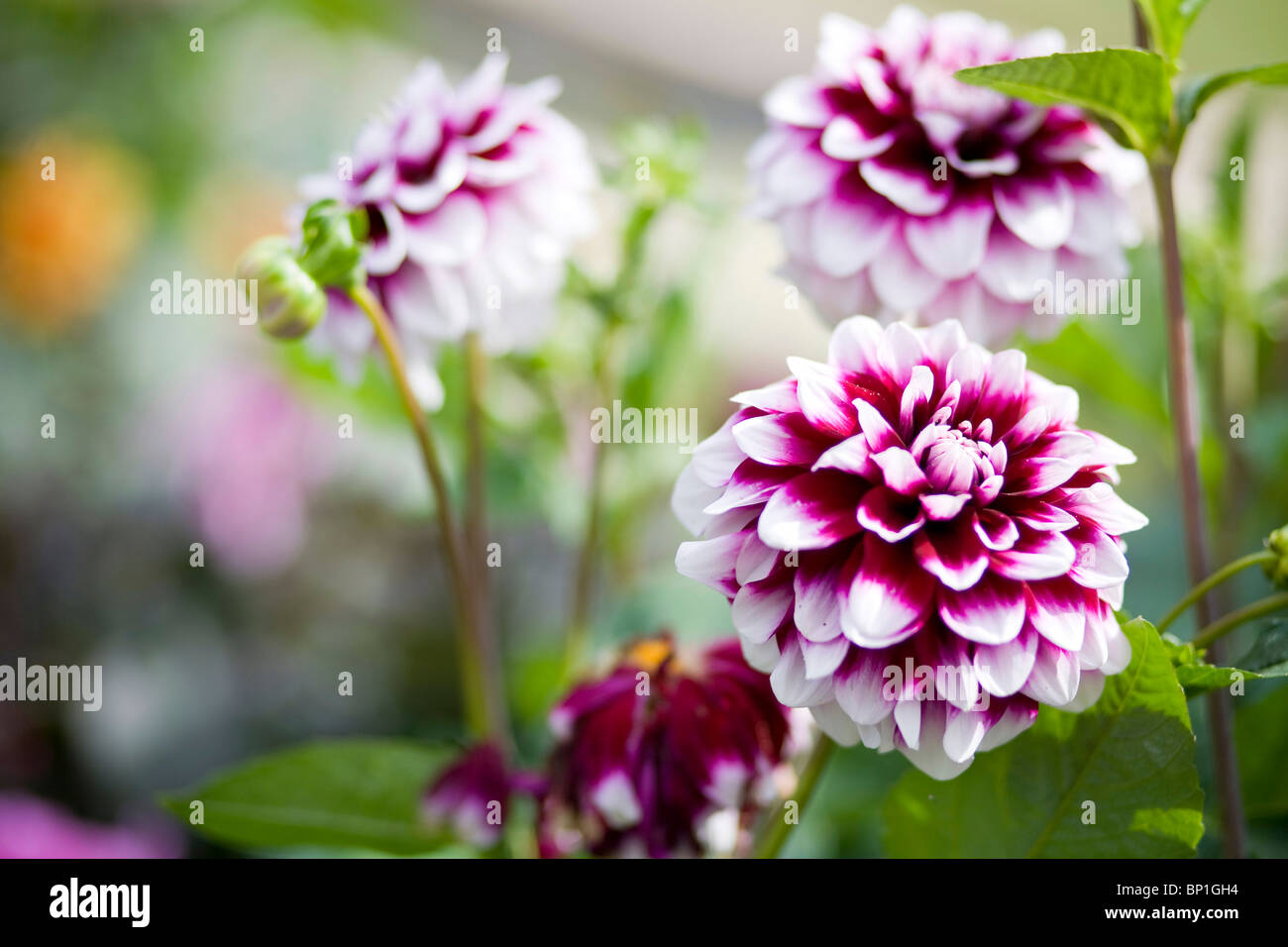 Dalia flowers in the garden at Charleston - Stock Image