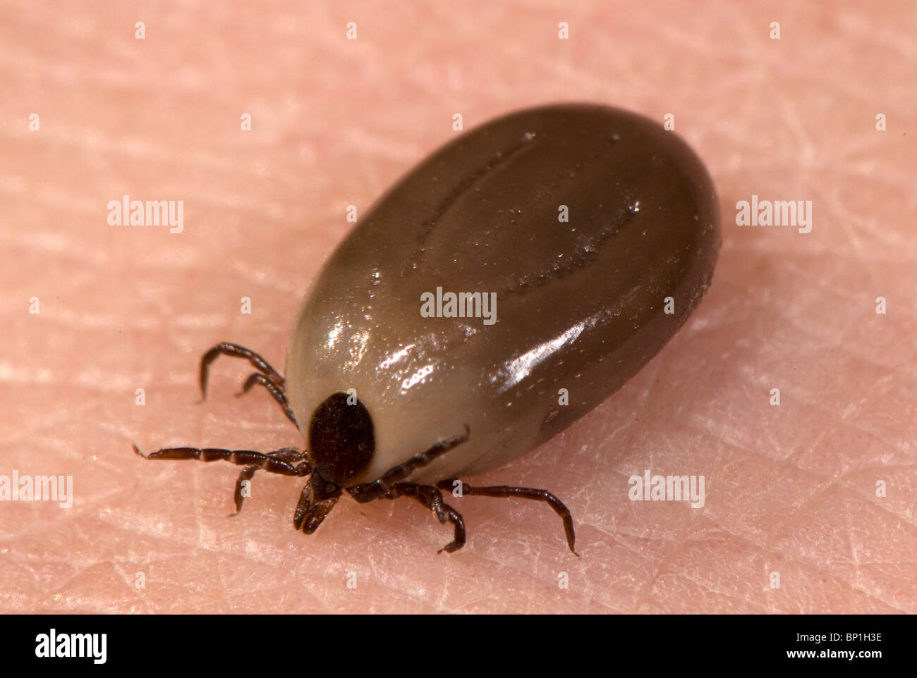 engorged Ixodes tick, a vector of Lyme disease - Stock Image