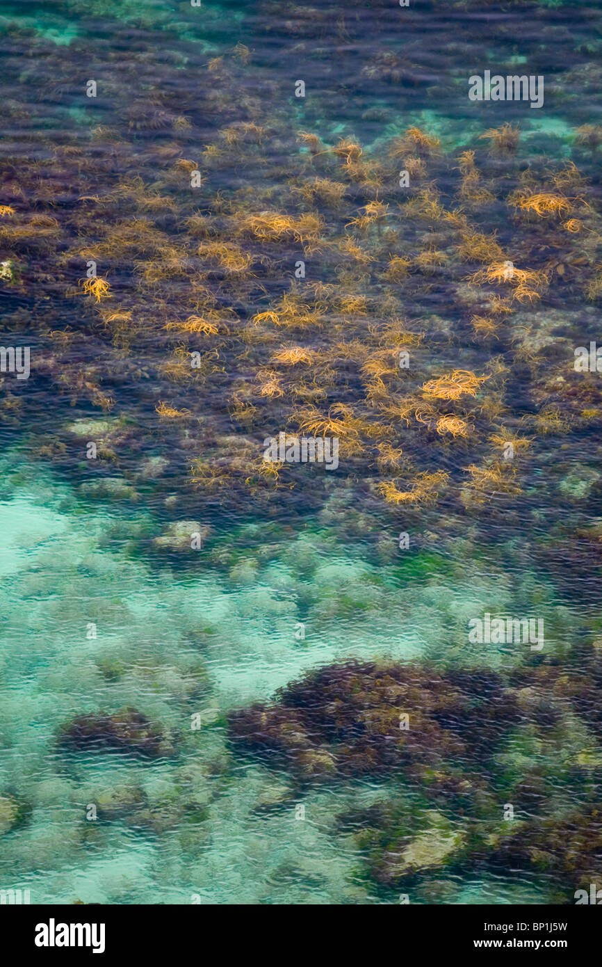 In Summer, a field of seaweed (Himanthalia elongata) in the Iroise waters (France). Champ d'algues marines en - Stock Image