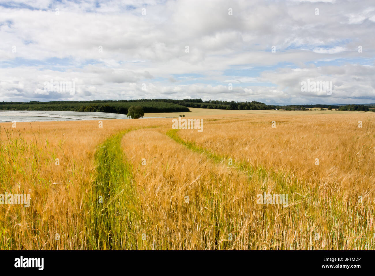 Scottish farming scene with cereal crop in foreground and soft fruit poly tunnels in distance. - Stock Image