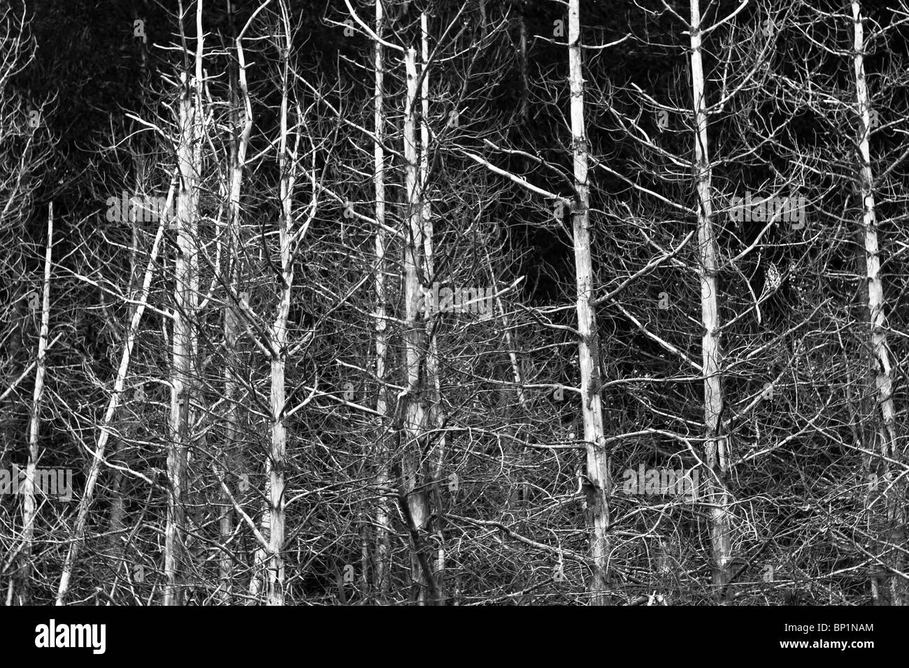 Monochromatic image of bleached dead pine trees against dark sky. - Stock Image