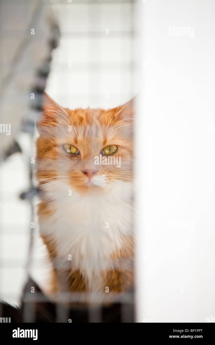 Ginger tabby cat with striking eyes, peers through the square wire mesh of a cat kennel at an animal sanctuary. - Stock Image