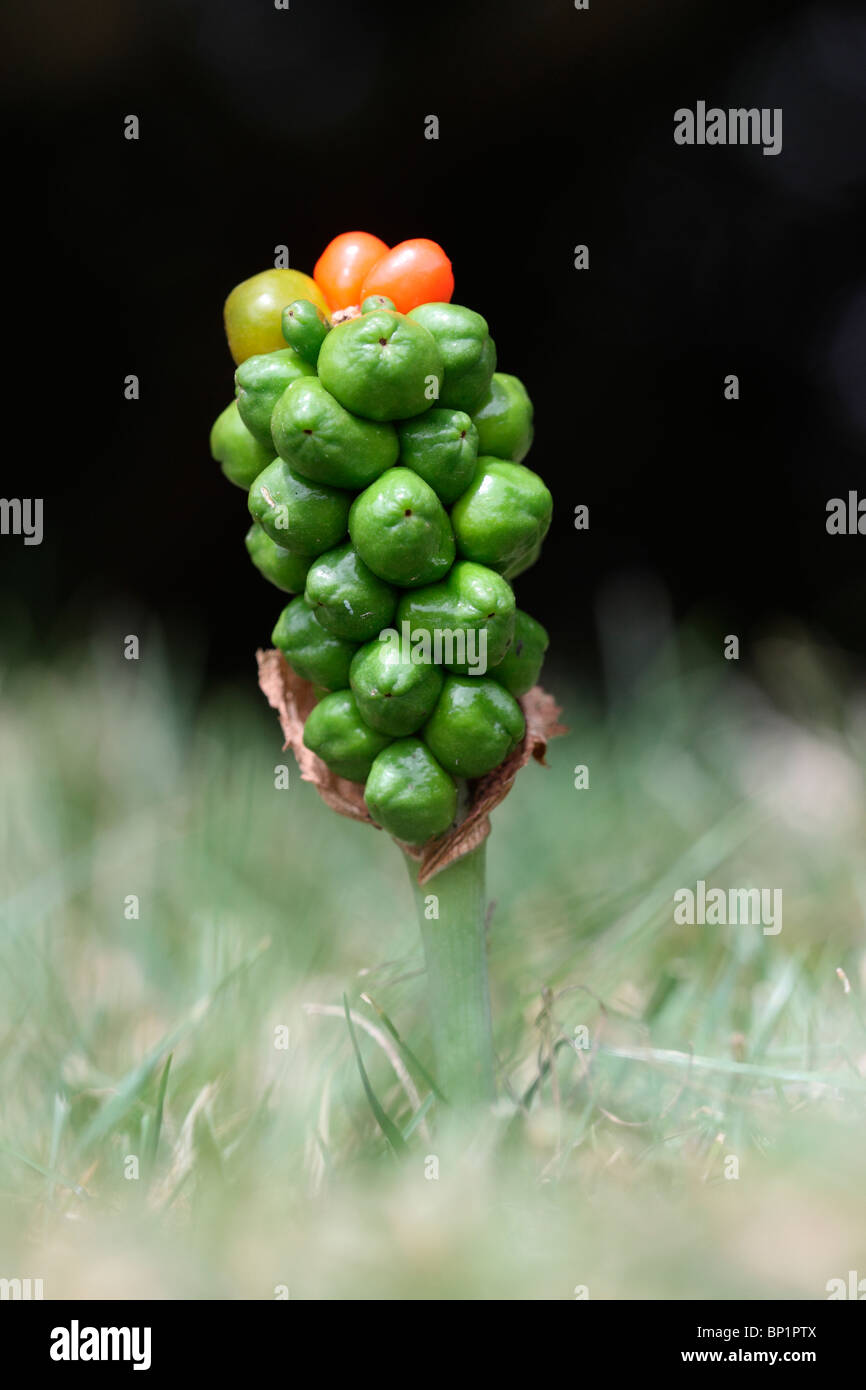 Cuckoo pint or Wild arum or Lords and Ladies plant, berries, Midlands, July 2010 - Stock Image