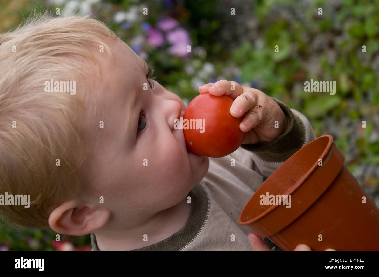 Young Boy tries to eat a freshly picked tomato at a garden at home. - Stock Image