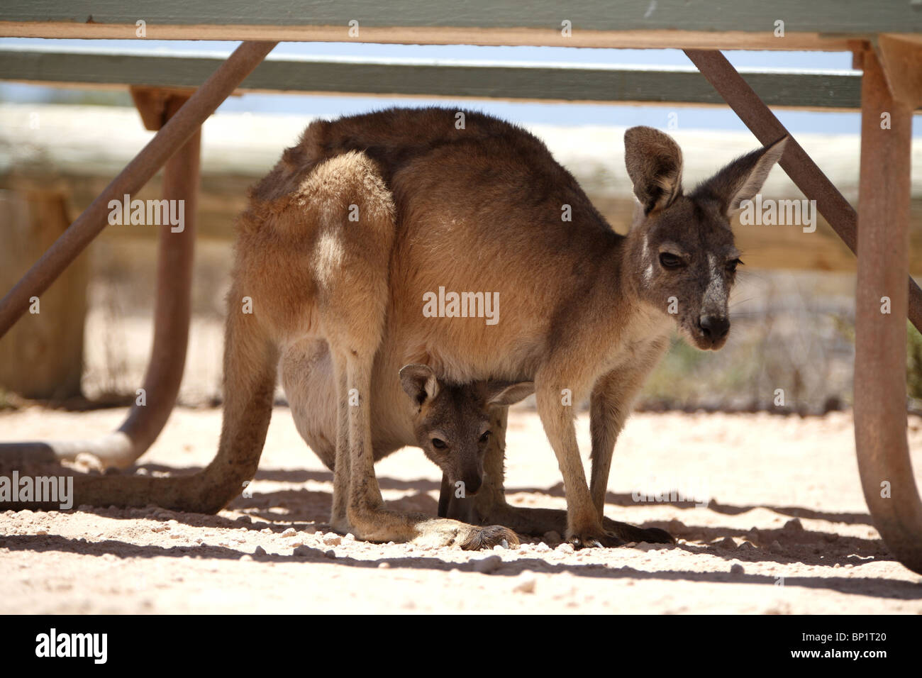 A kangaroo with a baby in the shade of a camping table, Exmouth, Australia Stock Photo