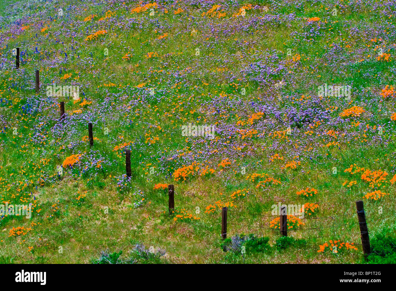 Wildflowers in the Tehachapi Mountains, Angeles National Forest, California - Stock Image