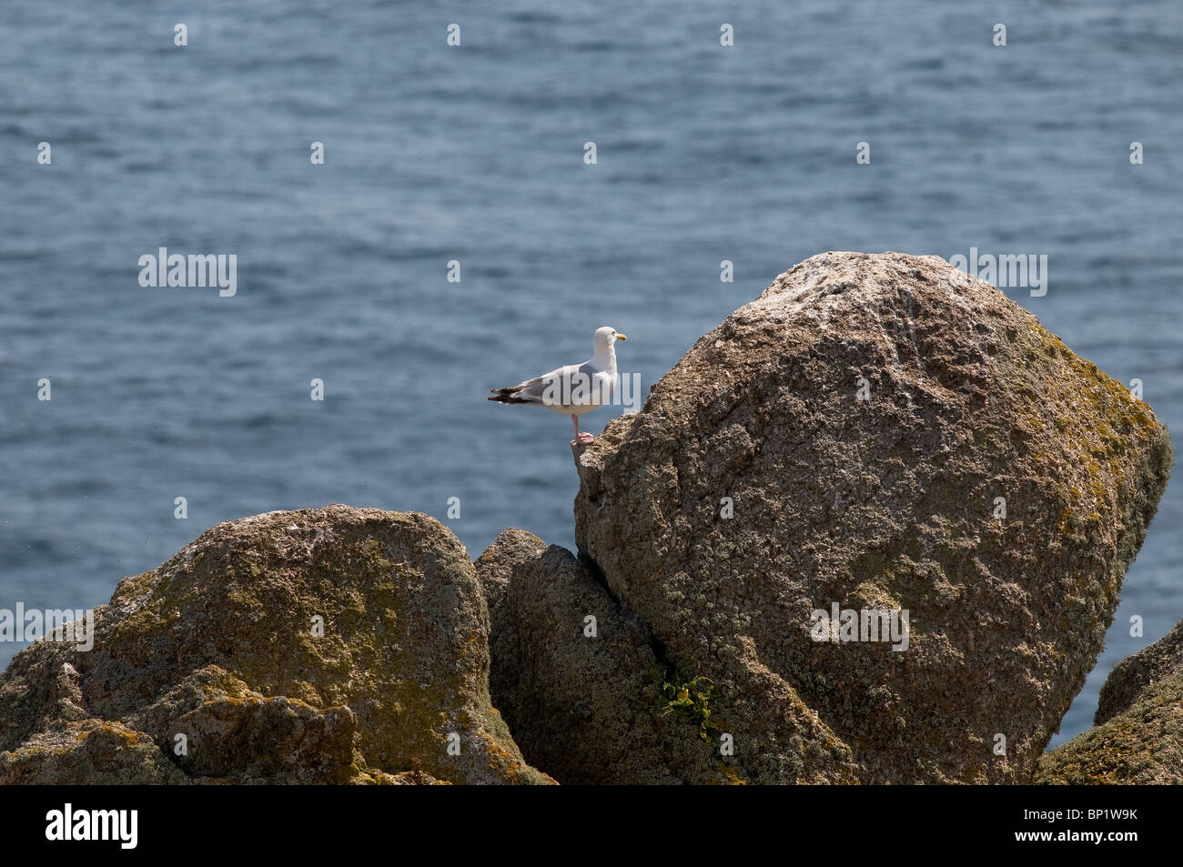 A seagull perched on rocks on the coast of Gwennap Head in Cornwall. Photo by Gordon Scammell - Stock Image