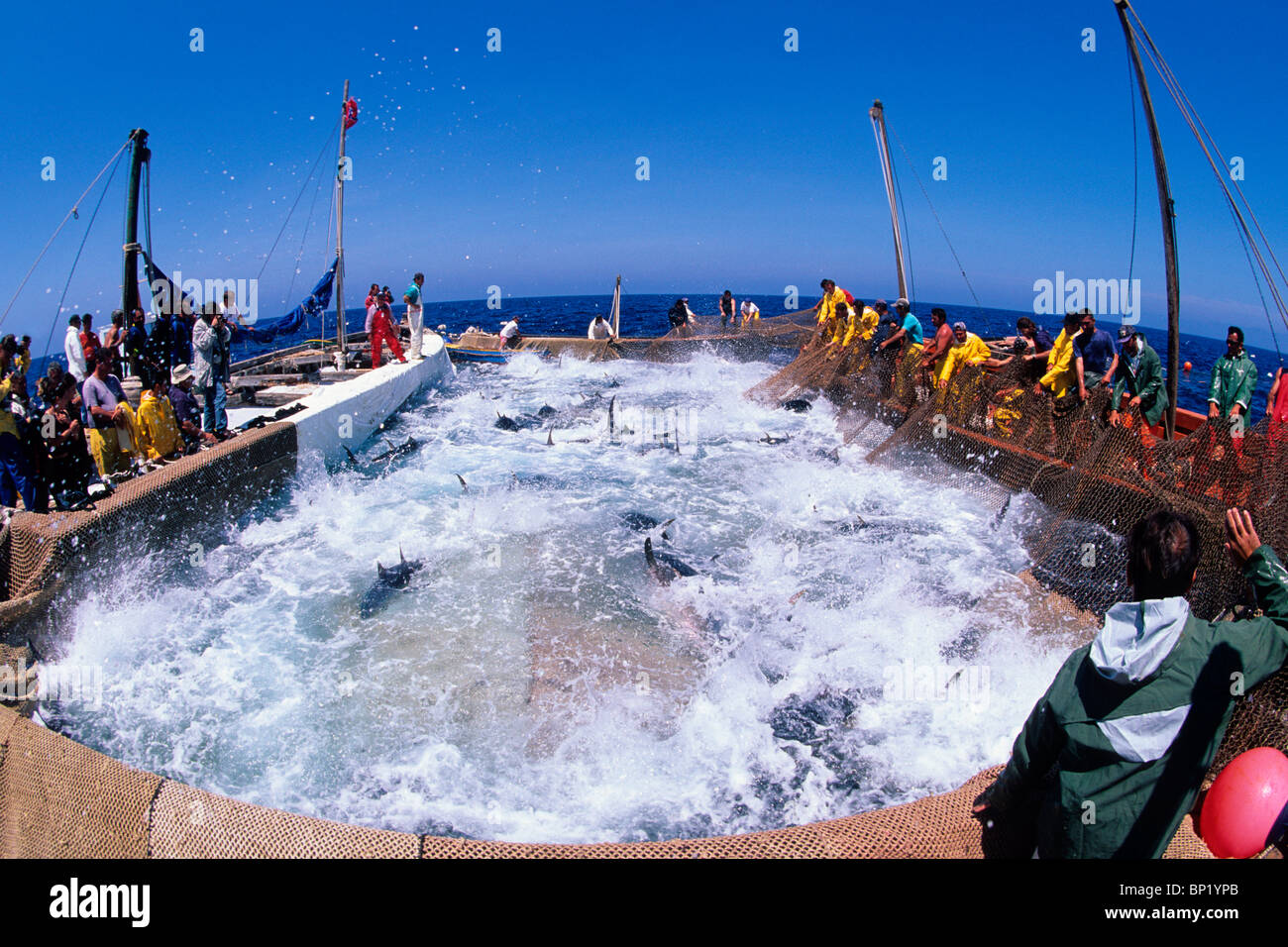 Bluefin Tuna Fishing at Mediterranean Sea, Thunnus thynnus, San Pietro Island, Sardinia, Italy - Stock Image