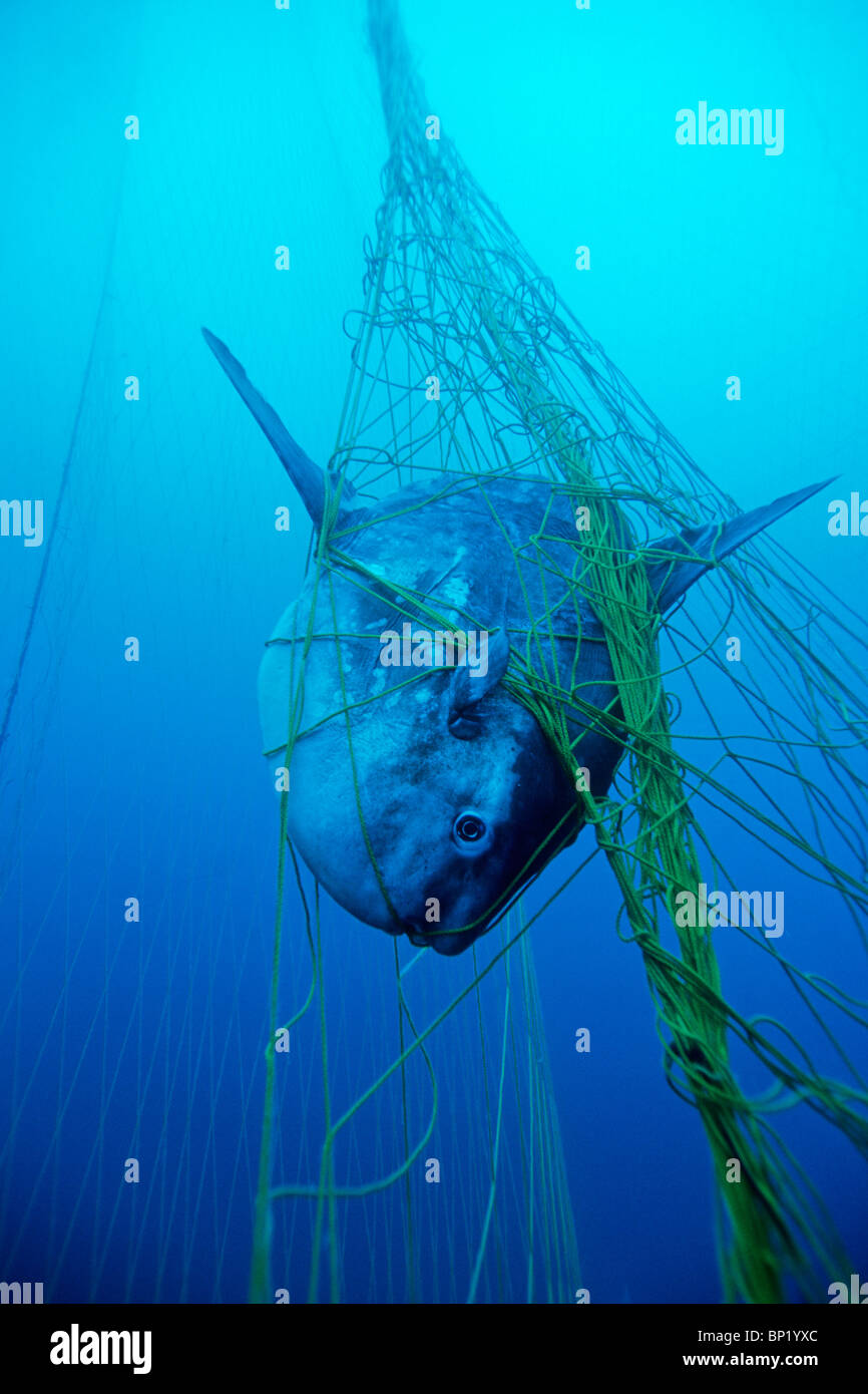 Ocean Sunfish bycatch, Mola mola, Sardinia, Italy - Stock Image