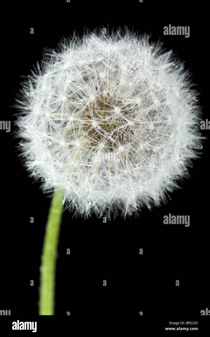 Blossoming dandelion, isolated on black - Stock Image