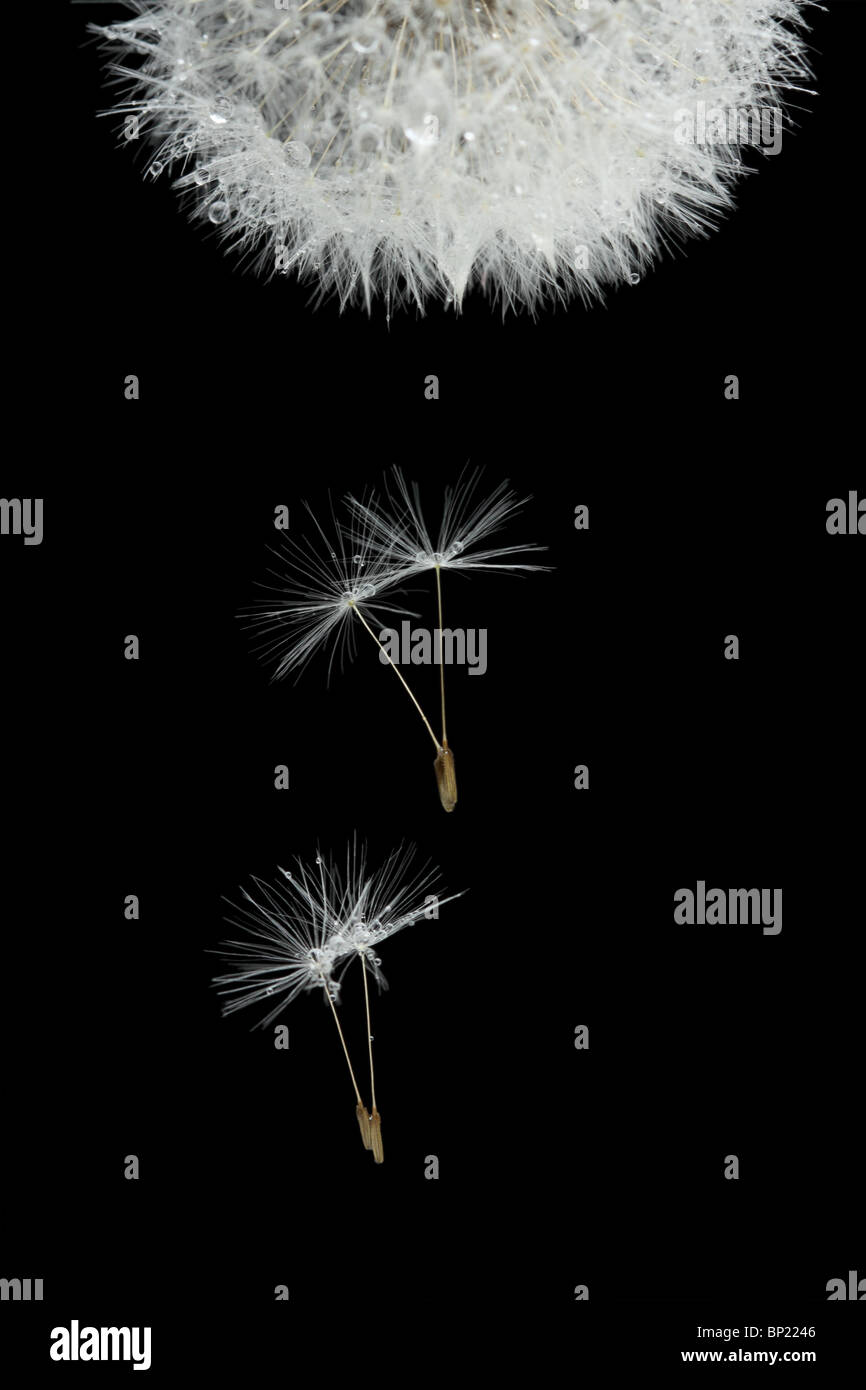 Flying seeds of blossoming dandelion, isolated on black - Stock Image