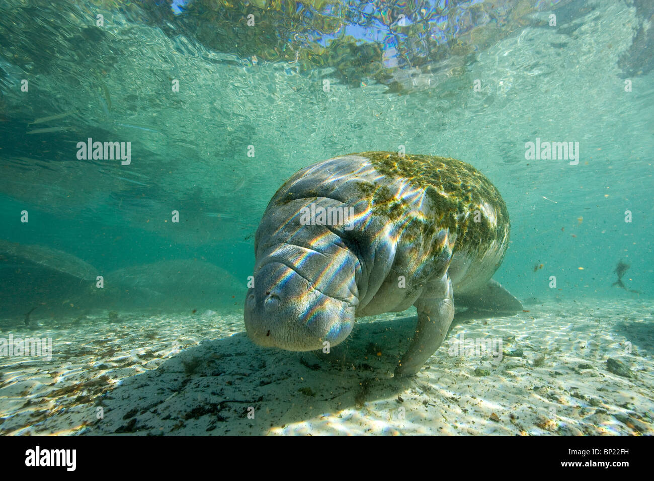 Manatee, Trichechus manatus latriostris, Crystal River, Florida, USA - Stock Image