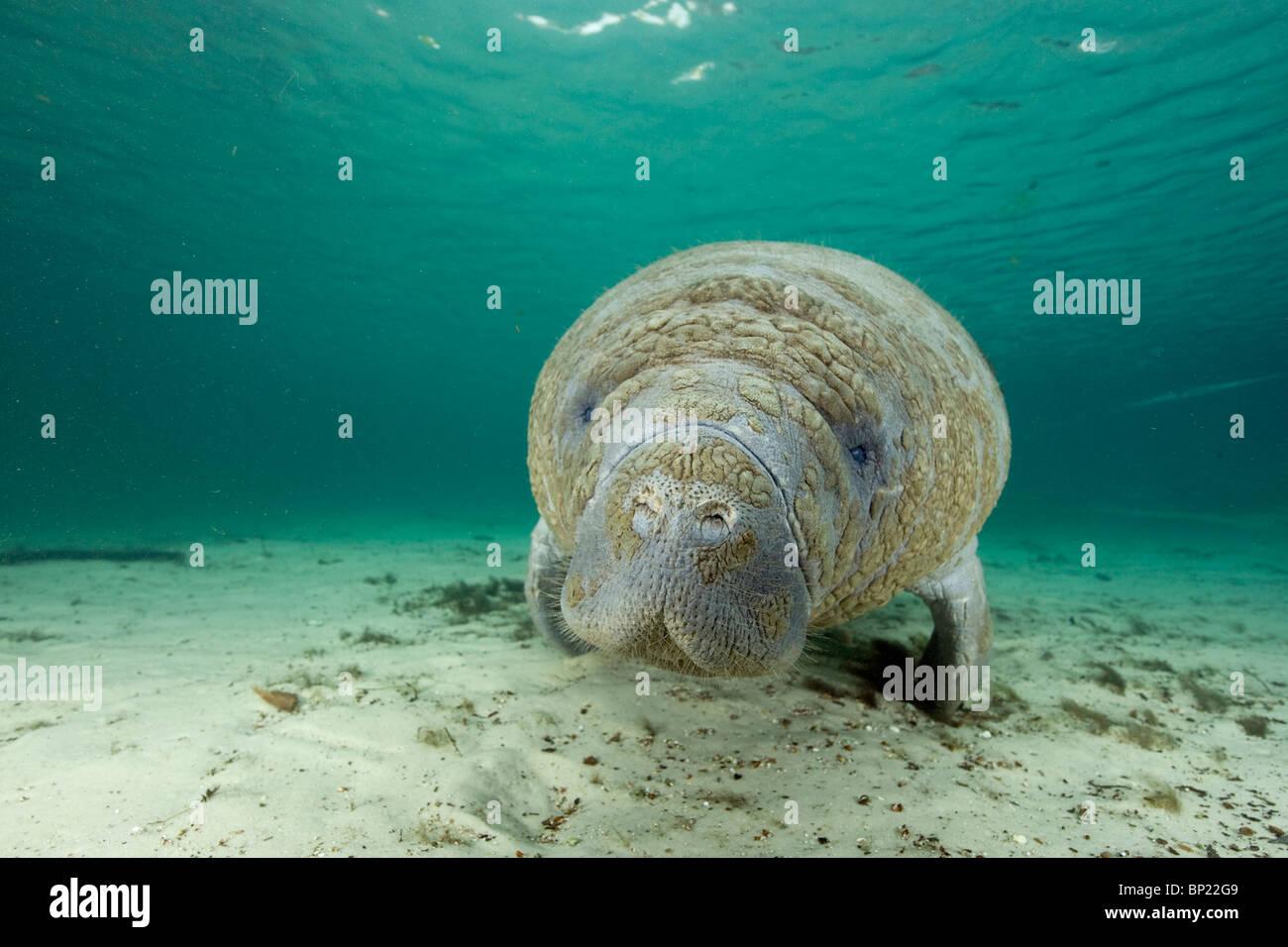Florida Manatee, Trichechus manatus latriostris, Crystal River, Florida, USA - Stock Image