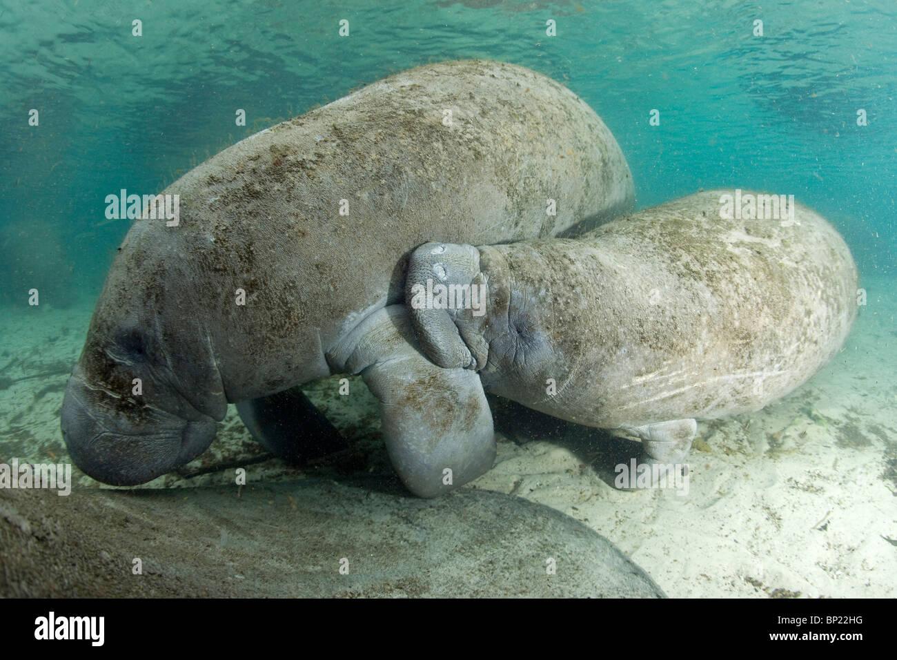 Florida Manatee, Calf sucking milk of mother, Trichechus manatus latriostris, Crystal River, Florida, USA - Stock Image