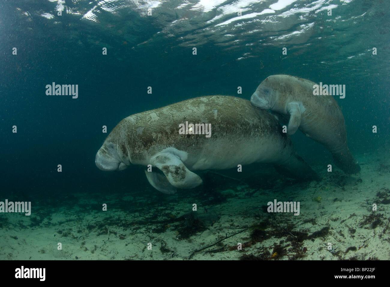 Manatee, Mother and Calf, Trichechus manatus latriostris, Crystal River, Florida, USA - Stock Image