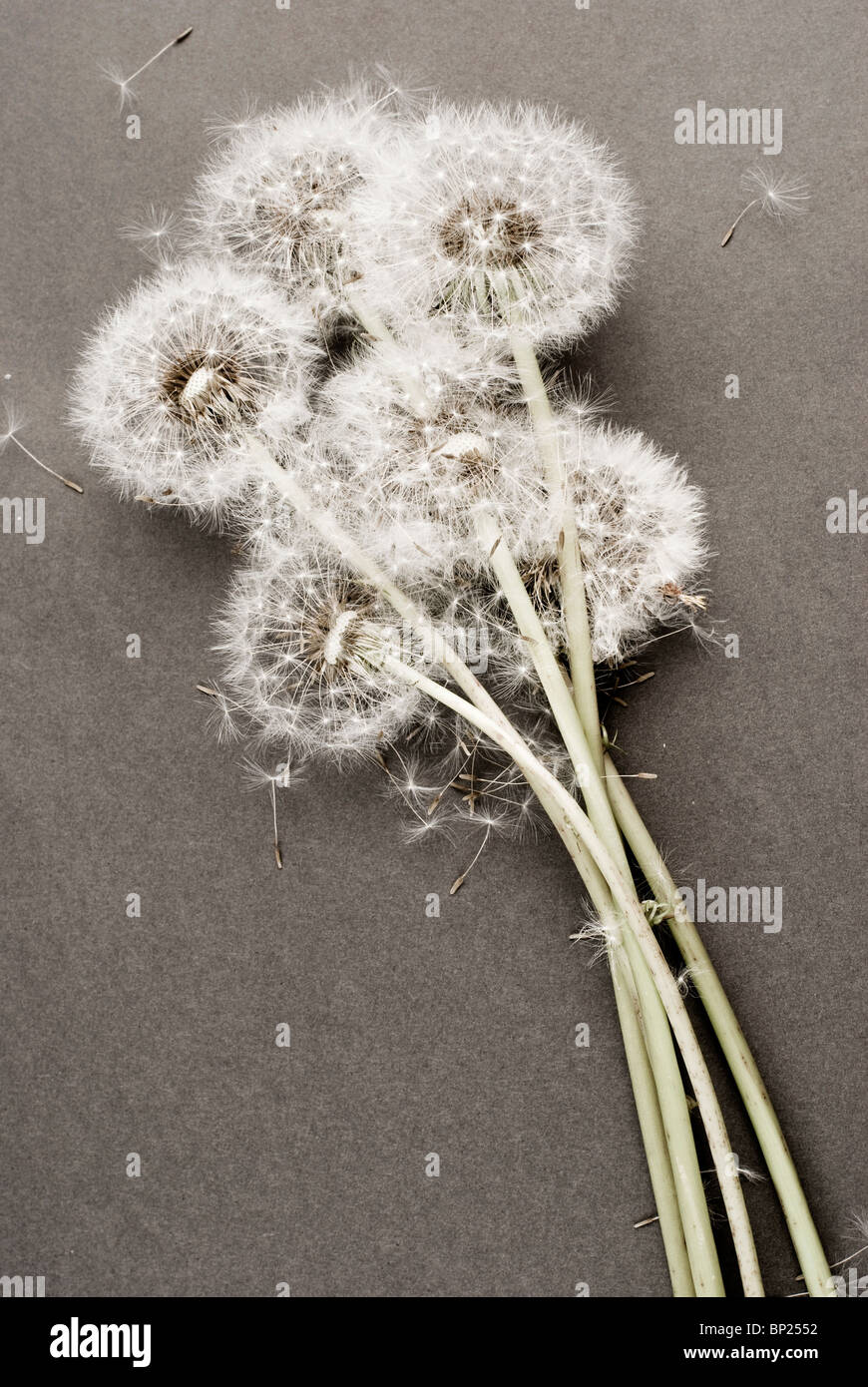 Bunch of Dandelion flowers on gray background Stock Photo