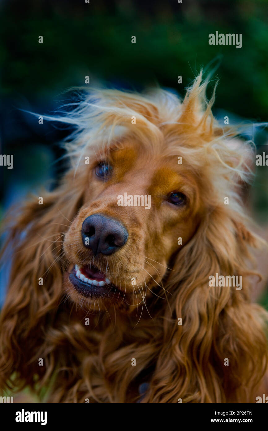 A spaniel plays in the park - Stock Image