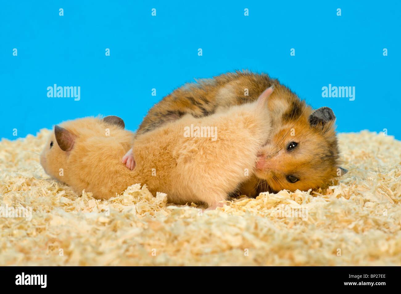Sex hamster xHamster TV